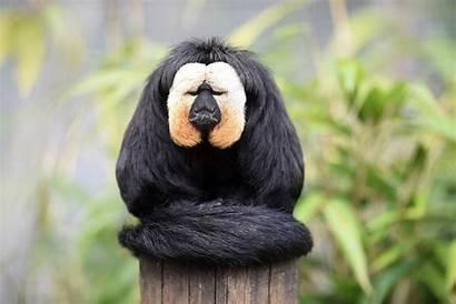 Monkey Saki Zoo Chessington Amazu Plan Walk