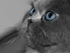 blue gray cat cat photos blue eyed cat in gray fur beard being