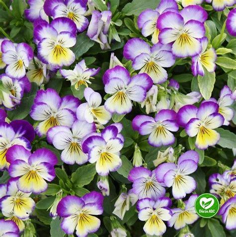 Dārza ABC - Ragainās vijolītes (vasaras puķes)