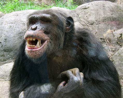 kideruelt miert inditottak  csimpanzok brutalis veres