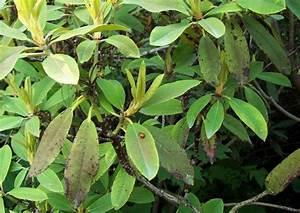 Rhododendron Braune Blätter : rhododendron park wachwitz 53 rhododendron krankheiten ~ Lizthompson.info Haus und Dekorationen