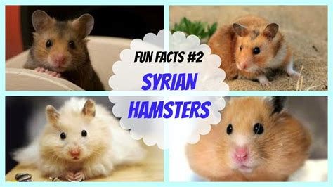 They teach kids the value of selflessness, compassion. Syrian Hamsters | FUN FACTS #2 - YouTube