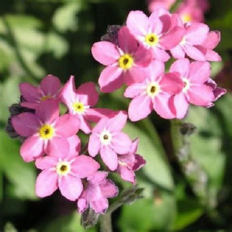 500 seeds bobo victora forget me not flower seeds