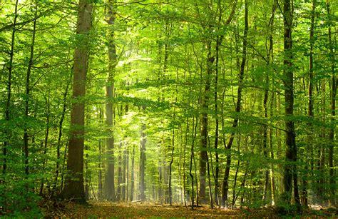 mural green light forest wallpaper wall mural muralswallpaper Forest