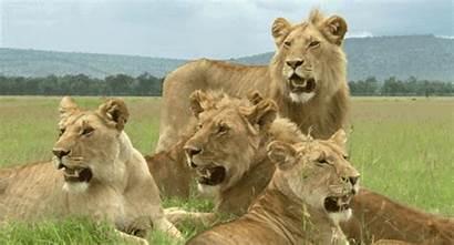 Leones Animados Manada Gifs Animals Animal Leonas