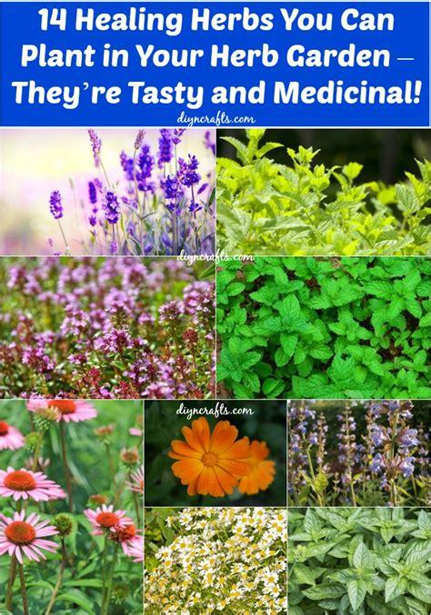 healing herbs  plant   herb garden theyre