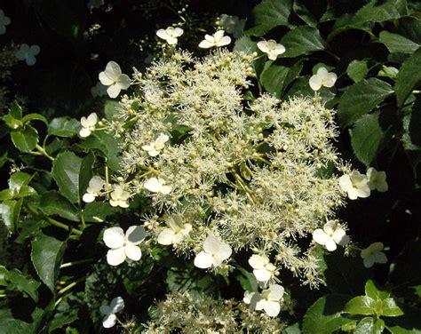 hortensia grimpant en pot de 28 images hydrangea hortensia in de pot royalty vrije stock