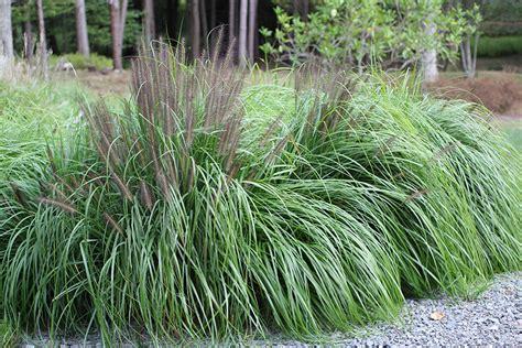 flowering ornamental grass black flowering fountain grass