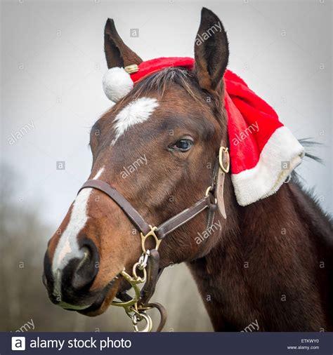 pferd kopf portrait mit einer weihnachtsmuetze  ellicott
