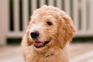 hypoallergenic dogs fact or fiction