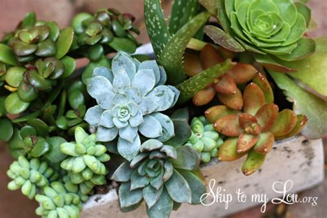 how do succulents grow growing succulents skip to my lou skip to my lou