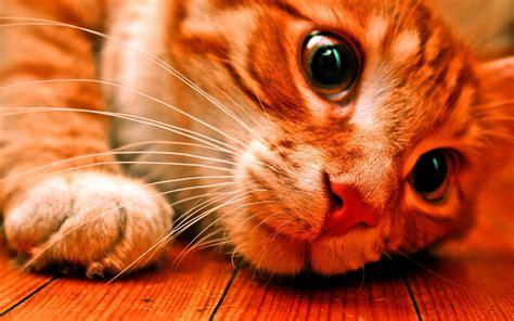 mebeowall cats desktop high quality wallpapers