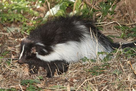 How To Get Rid Of Skunks In Upstate Ny Vt Natures Way