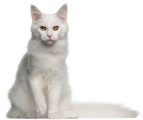 white cat names 150 adorable white cat names to call your snowball of cuteness
