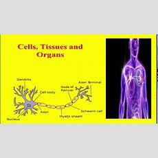 Cells Tissues And Organs In Urdu Hindi Youtube