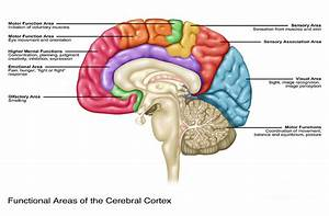 Cerebral Cortex Areas  Illustration Photograph By Gwen Shockey