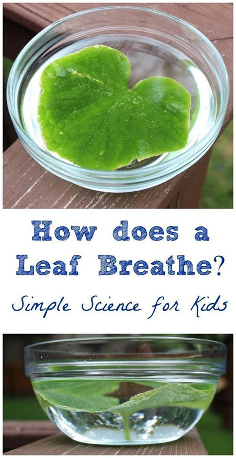 leaves breathe  simple science experiment