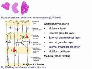Block7  Fig  15a Cerebrum  Brain Stem  And Cerebellum Sections