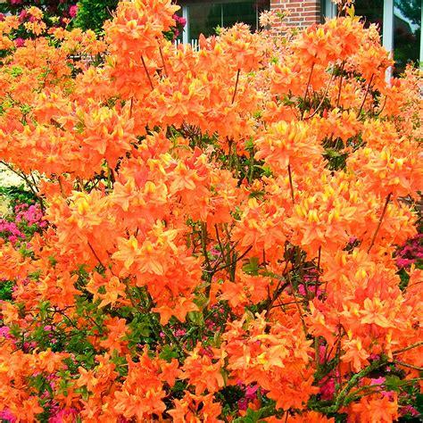 Rhododendron Winterfest Machen Garten by Garten Azalee Glowing Embers Kaufen Bei G 228 Rtner