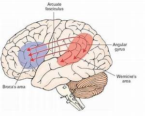 Relationship Of Wernicke U0026 39 S And Broca U0026 39 S Areas  Diagram Is Of The Left Cerebral Hemisphere