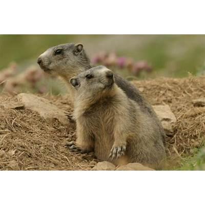 Marmot - Alpine Information for Kids