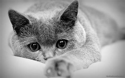 Grey Animal Wallpaper - grey cat animal wallpaper desktop wallpapers free