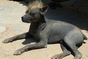 pin   dogs info  hairless khala  images