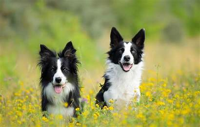 Border Collie Wallpapers Dogs Rough Pair Windows