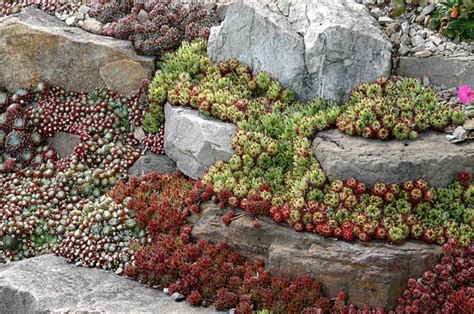 sempervivum rock garden age is a rock gardens best