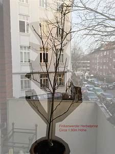 Kirschbaum Kaufen 3m : apfel finkenwerder herbstprinz malus finkenwerder herbstprinz g nstig aus der baumschule ~ Buech-reservation.com Haus und Dekorationen