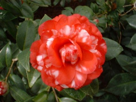 types of camellia flowers types of camellias bing images
