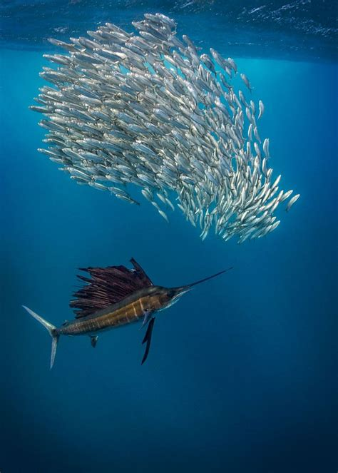 sailfish hunting nature wildlife underwater