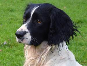 Black And White Springer Spaniel Pictures to Pin on ...
