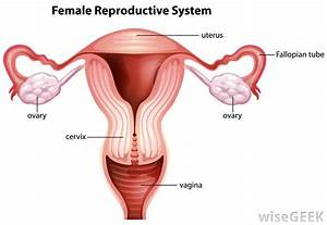 What Is Vaginal Epithelium   With Pictures