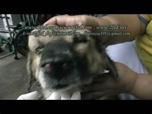 Dog rescue 191 Nasal Cancer บางบอน11 - YouTube Aspergillosis