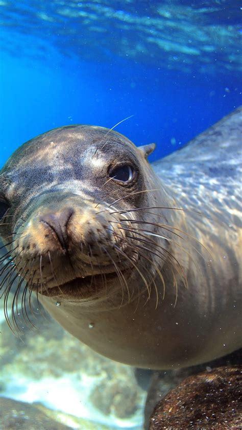 wallpaper sea lion galapagos island ecuador underwater