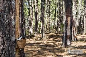 Parquet Pin Des Landes : parcelle de r colte de r sine de pin en pot dans la for t ~ Dailycaller-alerts.com Idées de Décoration