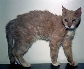 thyroid problems in cats feline hyperthyroidism
