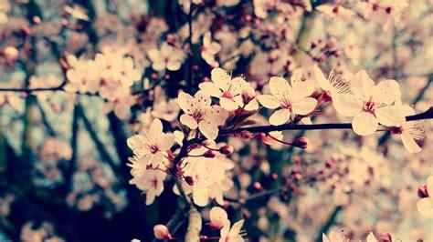 blumen bilder hintergrund natur blumen kirschbl 252 ten hintergrundbild 1920x1080 hd