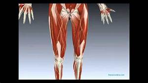 Muscles And Nerves Of Lower Limb
