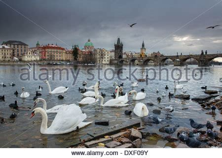 Swan Boats Charles River by A Swan On The Vltava River With The Charles Bridge Beyond