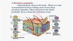 PGC Lectures :Sensory Receptors of Skin