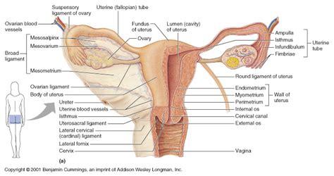 CH27 Uterine Anatomy