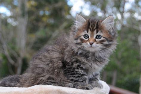 Snowgum Siberian Cats And Kittens