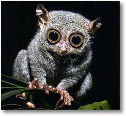 field notes   evolutionary psychologist pygmy
