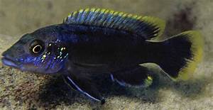 New Haplochromine Cichlid Species Discovered in Africa ...
