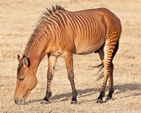 zebra horse horses zebras animal animals zonkey colored hybrids hybrid butterfly character butterflies hernandez jose