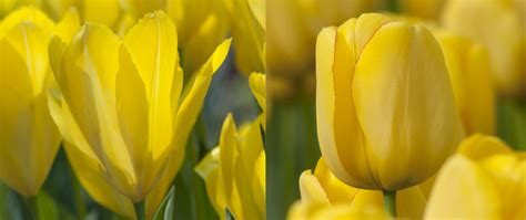 tulip bulbs yellow squared tulip bulbs for sale
