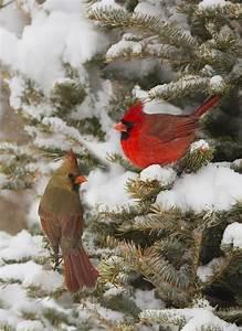 Cardinals in the snow | Winter & Christmas | Pinterest