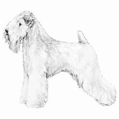 Embarkvet Terrier Wheaten Maggie